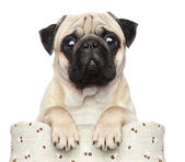 Pug in basket — Stock Photo