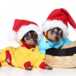 Royalty-Free Stock Photo: Toy terrier puppies in Christmas hats