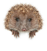 Funny Hedgehog sits on a white banner — Stock Photo