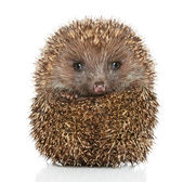 Young Hedgehog in front of white background — Stock Photo