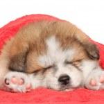 Акита ину щенка сон под одеяло — Стоковое фото