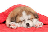 Akita inu puppy sleep under blanket — Stock Photo