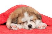 Akita inu puppy sleep under blanket — Stock Photo