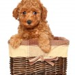 Poodle puppy in basket — Stock Photo