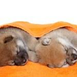 ������, ������: Shibainu puppies sleep under blanket