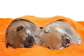 Shibainu puppies sleep under blanket — Stock Photo