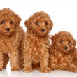 Group of toy poodle puppies — Stock Photo