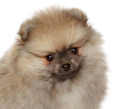 Pomeranian Spitz puppy. Close-up portrait — Stock Photo