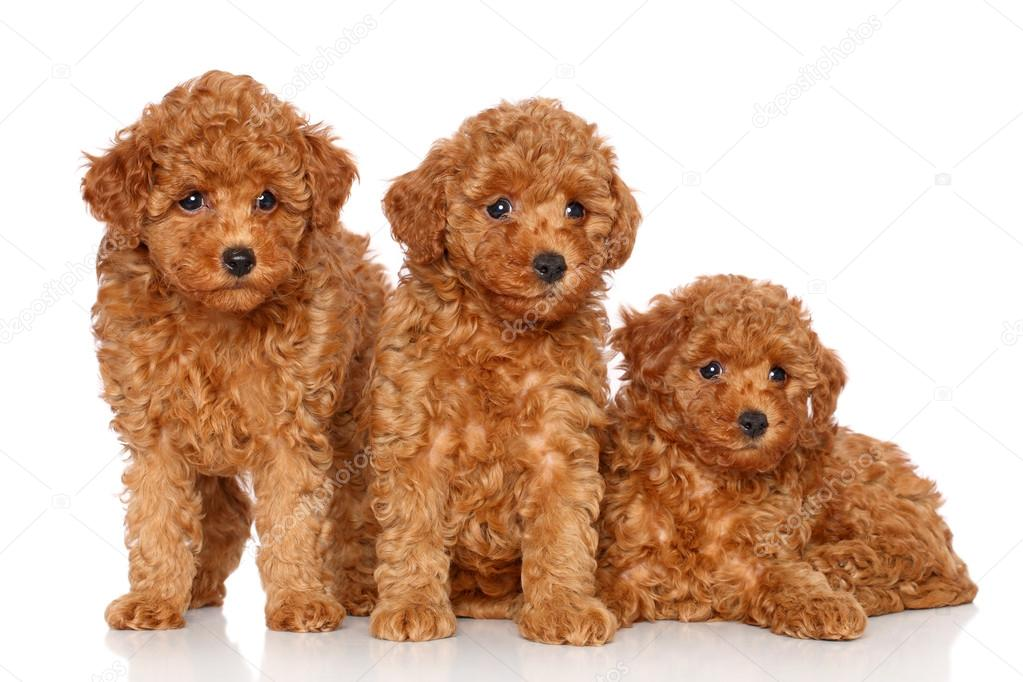 Group Toy Dogs : Group of toy poodle puppies — stock photo fotojagodka