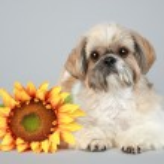 Shih Tzu dog with sunflower — Stock Photo