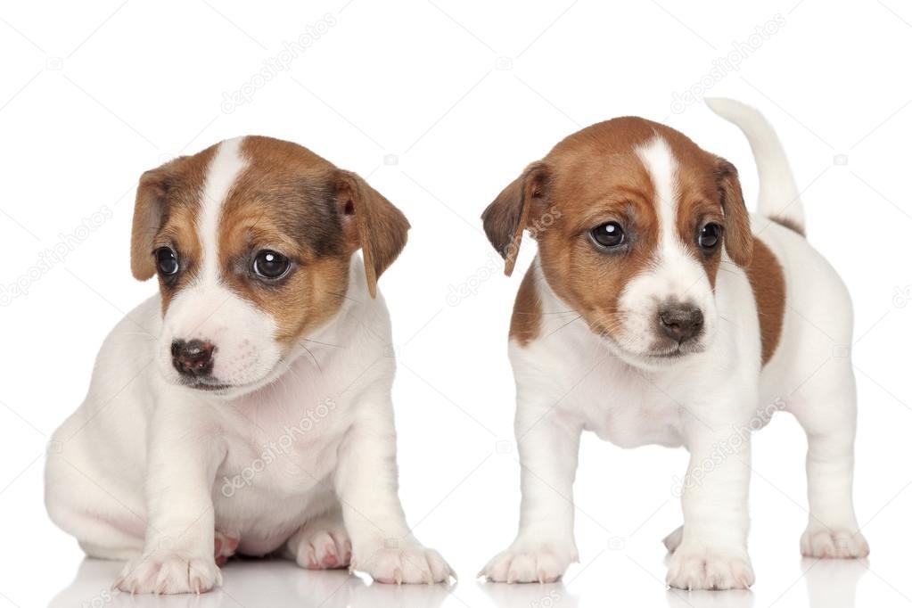 Welsh Terrier  Wikipedia