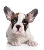 Cachorro de bulldog francés — Foto de Stock