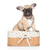 Fransk bulldog valp porträtt — Stockfoto