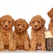 Stock Photo: Poodle puppies with basket