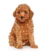 Cachorro poodle em fundo branco — Foto Stock