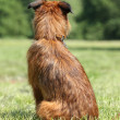 Dog breed Griffon waiting (rear view) — Stock Photo