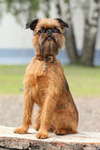 Brussels Griffon dog portrait on wooden bench — Stock Photo