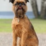 Brussels Griffon dog portrait — Stock Photo