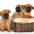 Griffon puppies on a white background — Stock Photo