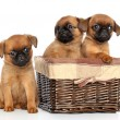 Stock Photo: Griffon puppies on a white background