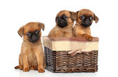 Griffon puppies on a white background — Stock Photo