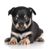 Chihuahua puppy (1 month) — Stock Photo