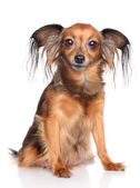 Russian long haired toy terrier dog — Stock Photo