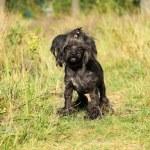 perro faldero coloreado — Foto de Stock