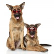 Funny German Shepherd dogs in sunglasses — Stock Photo #32500969