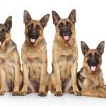 Four funny shepherd — Stock Photo #32500975