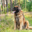 Leonberger dog, outdoor portrait — Stock Photo
