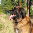 Leonberger dog. Outdoor portrait — Stock Photo