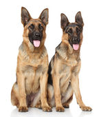 German Shepherd dogs on white background — Stock Photo