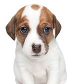 Jack Russell dog puppy portrait — Stock Photo