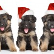 Stock Photo: Germshepherd puppies in red Santhat