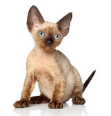 Portrait of a Devon rex kitten on white background — Stok fotoğraf