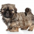 ShihTzu puppy, 2 months old — Stock Photo