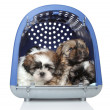 Shih Tzu puppies in plastic carrier on white background — Stock Photo