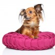 Russian long haired Toy Terrier — Stock Photo #39707807