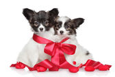 Papillon puppies associated red bow — Stock Photo