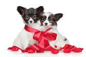 パピヨン子犬赤の弓に関連します。 — ストック写真