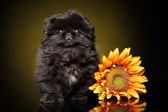 Pekinese puppy portrait — Stock Photo