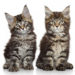 Maine Coon kittens — Stock Photo #46719821