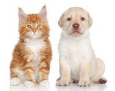 Maine Coon kitten and Labrador puppy — Stok fotoğraf