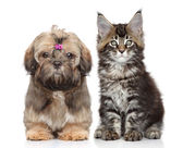 Shitzu puppy and Maine Coon kitten — Stok fotoğraf