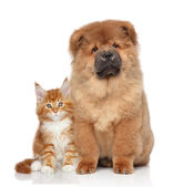 Maine Coon kitten and Chow Chow puppy — Stok fotoğraf