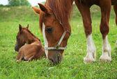 Hermosos caballos — Foto de Stock