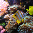 Yellow fishes — Stock Photo