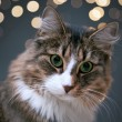 Fluffy cat — Stock Photo #37547805