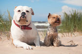 Bulldog and yorkshire terrier — Stock Photo